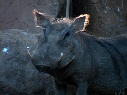 Warthog video