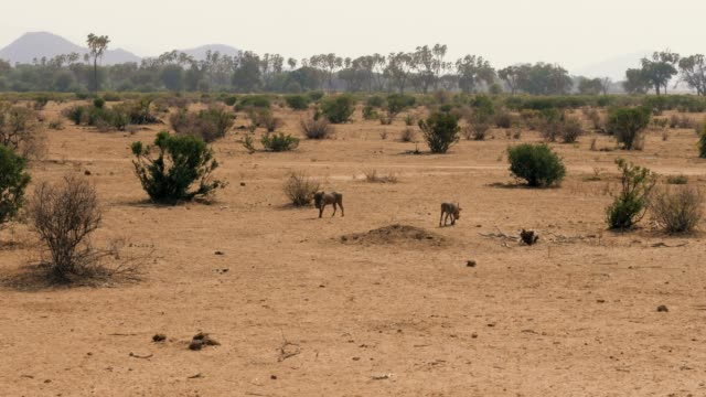 Warthogs Looking For Food In The Dusty And Arid African Desert