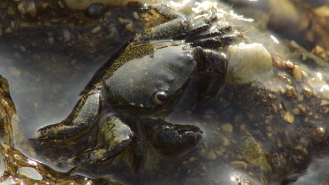 Warty crab half submerged in a rock - Eriphia Verrucosa