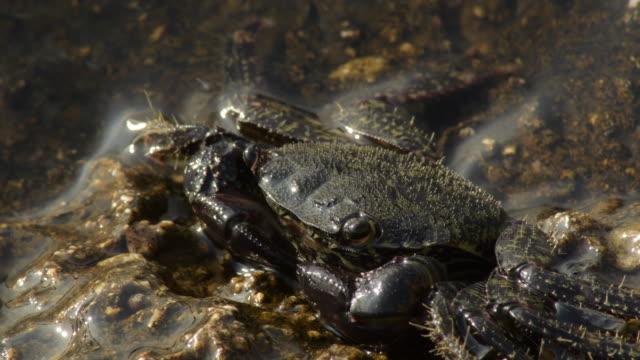Warty crab half submerged in a rock in the beach - Eriphia Verrucosa