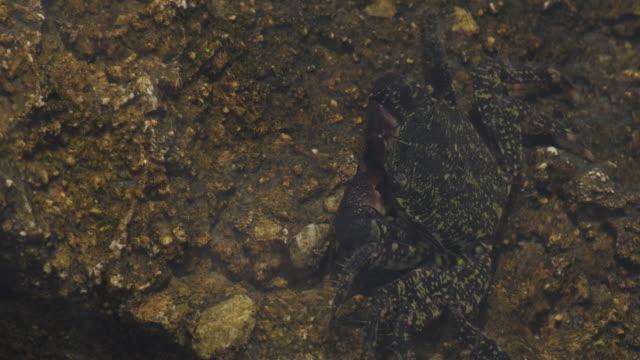 Warty crab in a rock half submerged - Eriphia Verrucosa