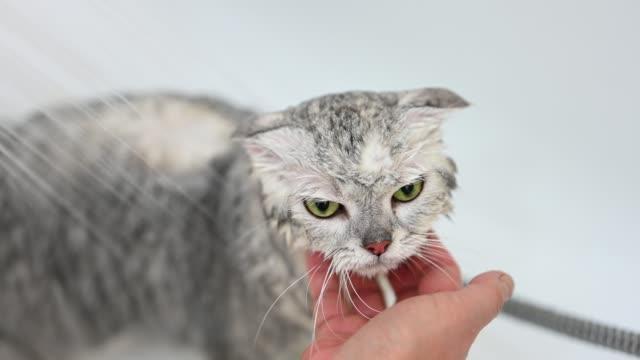 vidéos et rushes de laver un chat dans la baignoire - prendre un bain