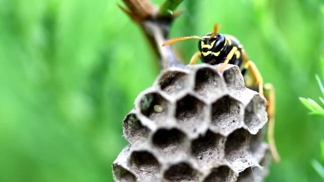 wespe am nest auf grünem hintergrund in der wildnis - hornisse stock-videos und b-roll-filmmaterial