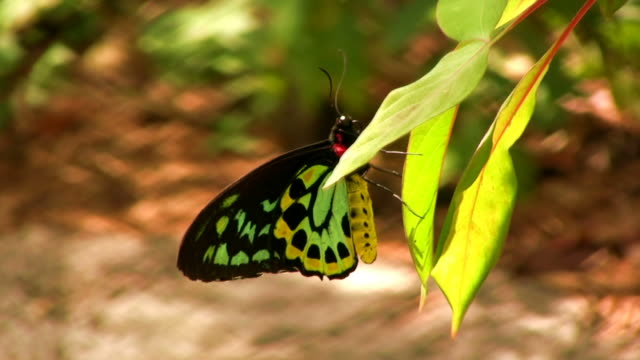 Wasp Attacking Butterfly Resting on a Leaf video