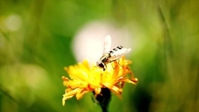 wasp samlar in nektar från blomman crepis alpina slowmotion. - bi insekt bildbanksvideor och videomaterial från bakom kulisserna