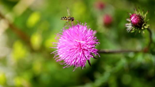 wasp samlar nektar från blomman mjölktistel i alpina ängar. - bi insekt bildbanksvideor och videomaterial från bakom kulisserna