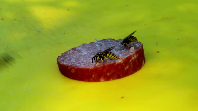 Wasp eating a sausage video