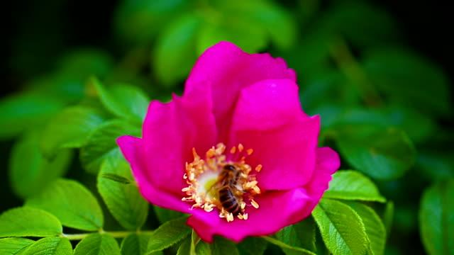 ワスプ、ローズヒップを飛ぶし、花粉を収集 - イヌバラ点の映像素材/bロール