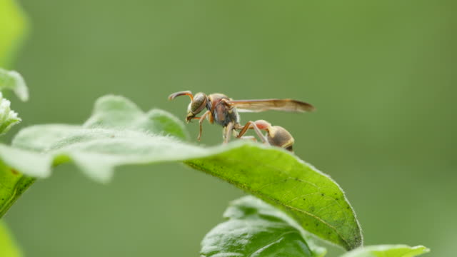 Wasp grooming on green leaf. video