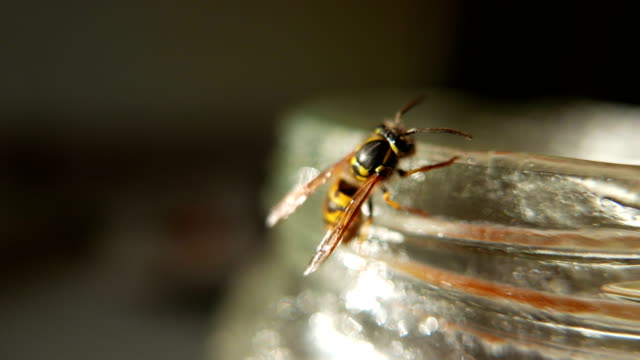vídeos de stock e filmes b-roll de wasp hornet eating honey from the soy details - velutina