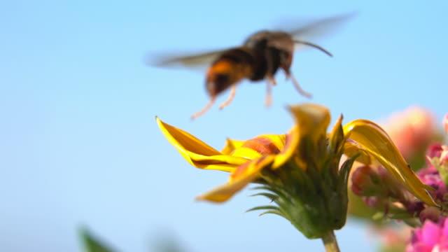 geting bålgeting landning och start på gul blomma - pollinering bildbanksvideor och videomaterial från bakom kulisserna