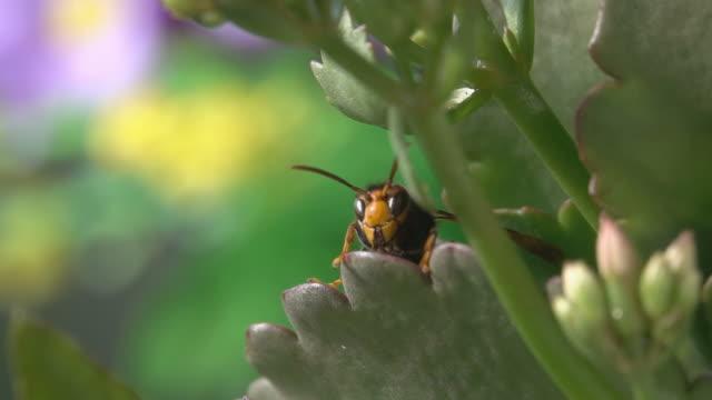 wespe hornet beobachten - hornisse stock-videos und b-roll-filmmaterial