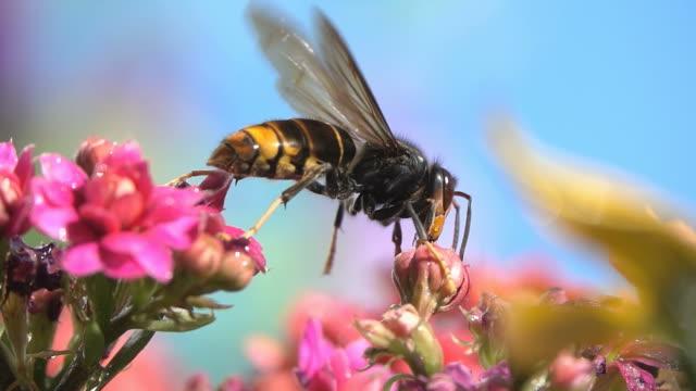 vídeos y material grabado en eventos de stock de wasp hornet - insecto himenóptero