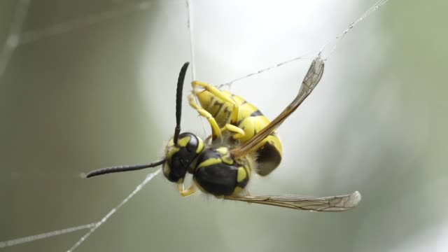 Wasp in spider web video