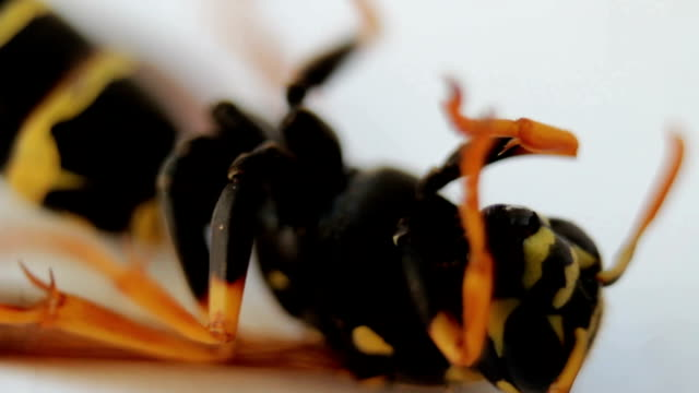 wasp insect on white background. macro footage - torace animale video stock e b–roll