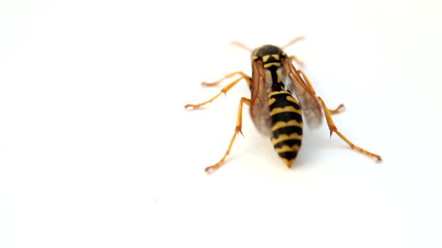 Wasp insect on white background. Macro footage video