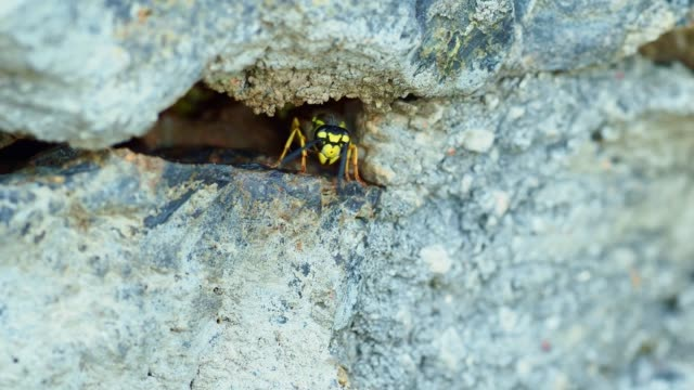 wasp nest in the stone wall, wasps fly in and fly out of the enter hole. yellow and black striped insect. - ruth filmów i materiałów b-roll