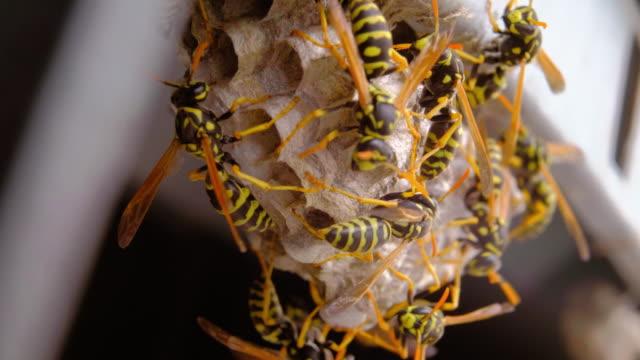 vídeos y material grabado en eventos de stock de macro nido de avispa - insecto himenóptero