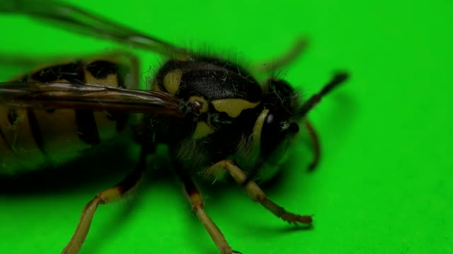 wasp on a green background video