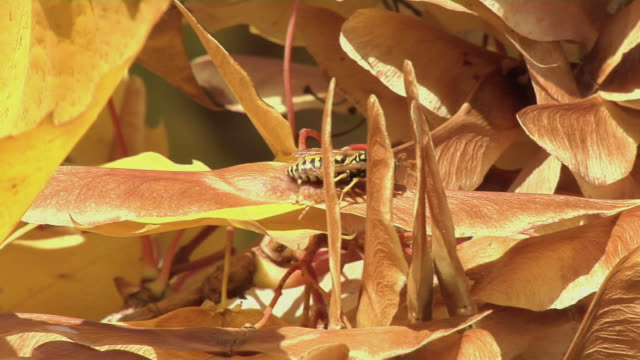 stockvideo's en b-roll-footage met wasp on fall leaves - minder dan 10 seconden