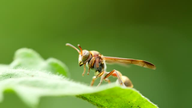 Wasp on green leaf. video