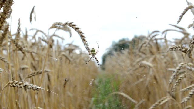 wasp spider wheat ear video