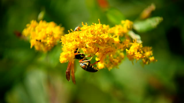 wasp_on_yellow_flower_hd - wespe stock-videos und b-roll-filmmaterial