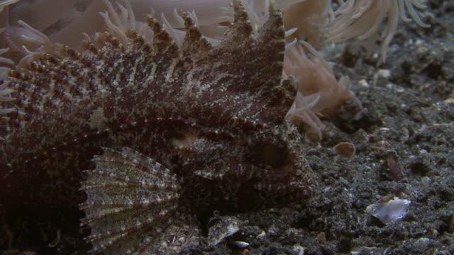 waspfish polowanie - żabnicokształtne filmów i materiałów b-roll