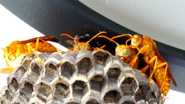 Wasps Hive in the roof - Polistes hebraeus video