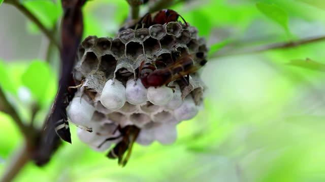 Wasps in nest video