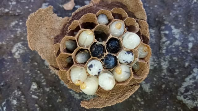 Wasps larva in nest Wasps larva in nest larva stock videos & royalty-free footage