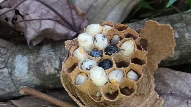 wespennern im nest - hornisse stock-videos und b-roll-filmmaterial