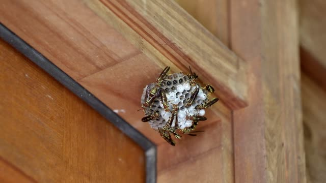 wespen auf nest an haus befestigt - wespe stock-videos und b-roll-filmmaterial