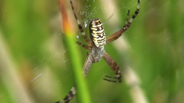 Waspspider on orb web video