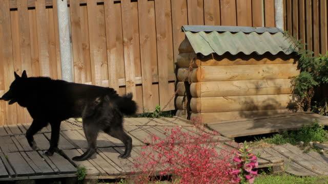 watchdog. - cane addestrato video stock e b–roll