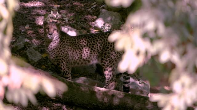dikkatli çita ayakta ve uyanık pozisyonda etrafa bakıyor. - etçiller stok videoları ve detay görüntü çekimi