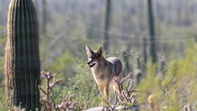 vídeos de stock e filmes b-roll de watchful coyote, anis latrans in the sonoran desert - coiote