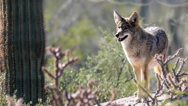 vídeos de stock e filmes b-roll de watchful coyote, anis latrans, sonoran desert - coiote