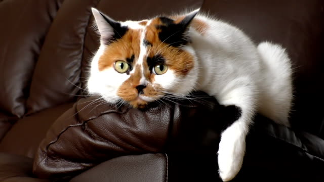 Watchfull white cat lying on sofa arm Tricolor white, orange and black calico cat lying on dark leather arm listening and watching what's happening around tortoise shell stock videos & royalty-free footage