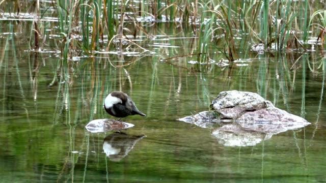 water blackbird cleans your plumage, cinclus cinclus, mountain lake, alps, upper bavaria, 4 k - merlo acquaiolo video stock e b–roll