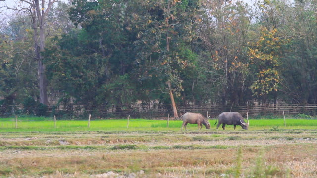 Water Buffalo Eating in the rice field