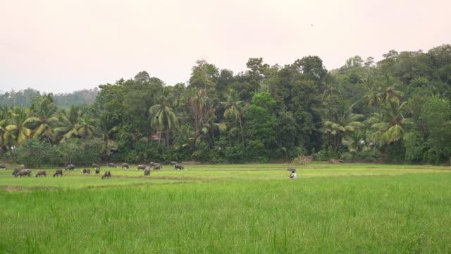MS Water buffalo grazing in lush,green tropical field,Sri Lanka