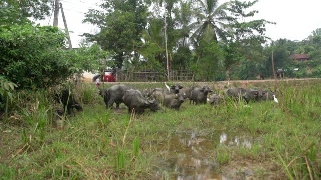MS Water buffalo wading,grazing in marsh,Sri Lanka