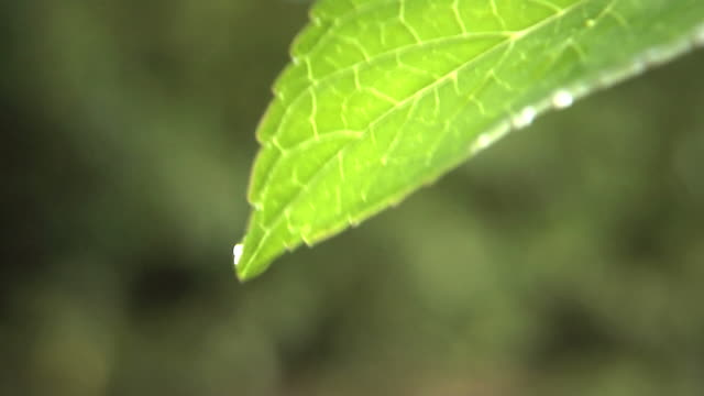 Water dripping from leaf video