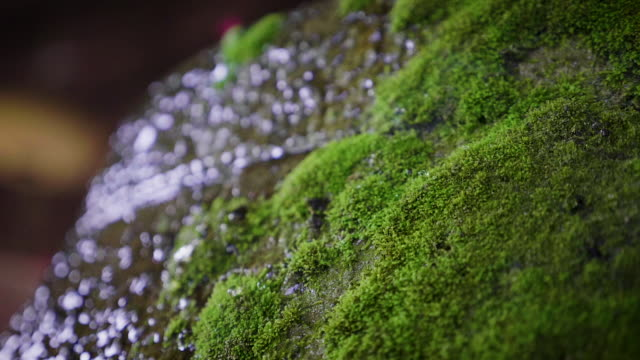water dripping on the green moss on the rock after raining, nature background concept - muschio flora video stock e b–roll