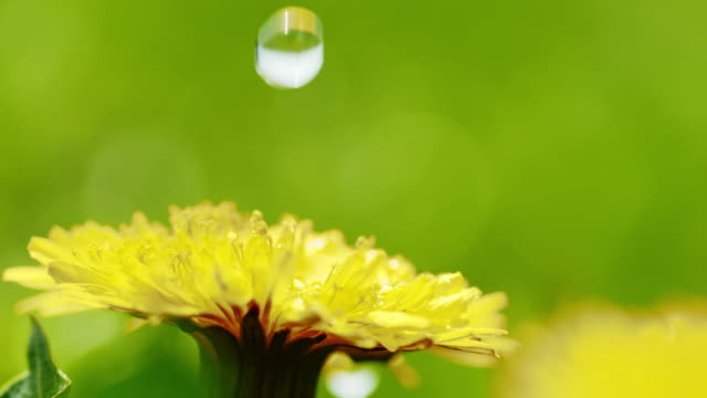 SLO MO CU Water drop falling on a dandelion Super slow motion close up shot of a water drop splashing on petals and stamens of a flowering dandelion. dandelion stock videos & royalty-free footage