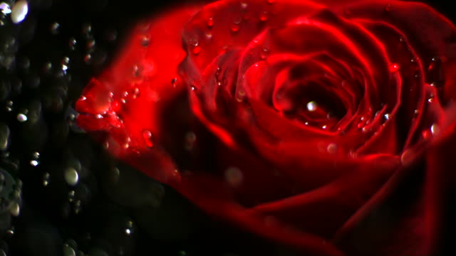 Water drop falling on red rose video