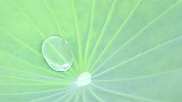 water drop in lotus leaf video
