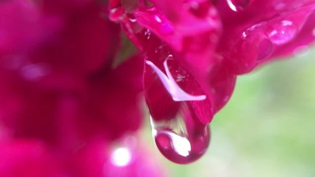 goccia d'acqua su rosa rossa, rosa canina - cinorrodo video stock e b–roll