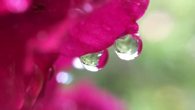 water drop on red rose , rose hip video